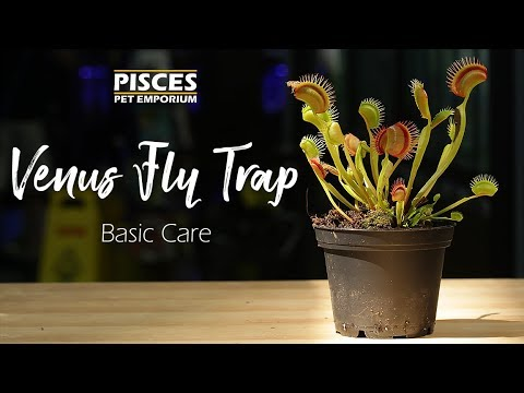 How to care for the venus fly trap