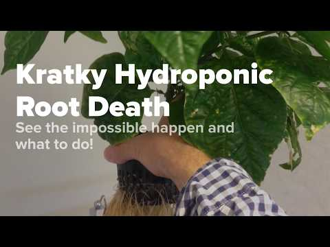 B.a. kratky hydroponics root health tips and what goes wrong