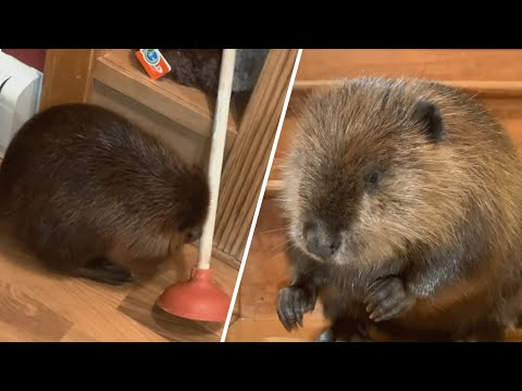 This beaver uses a plunger for building his unique 'dams'