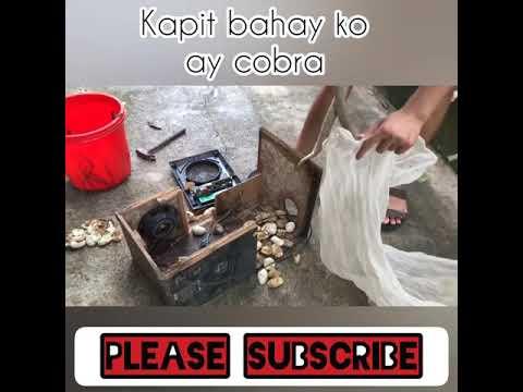 Kapit bahay ko ay cobra ( catching mother cobra)