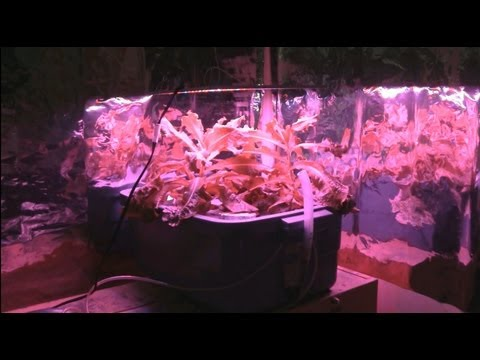 Led grow light review with hydroponic lettuce
