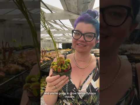 How to grow venus flytraps indoors