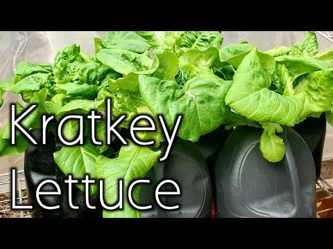 What is the kratky method?- growing lettuce in kratky hydroponics