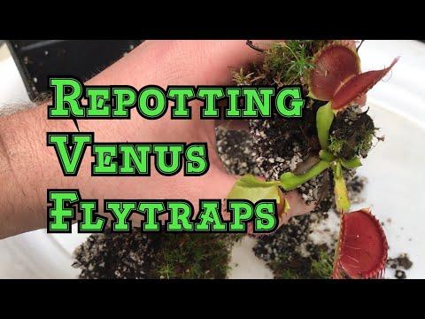 Venus flytrap care: how to repot a venus flytrap