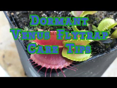 Venus flytrap winter care: how to survive winter dormancy zone 8 in 3 minutes