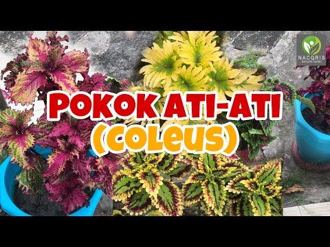 Melawat taman bunga ati-ati (coleus)